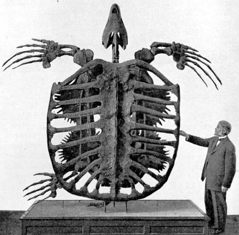 Archelon - the largest sea turtle that ever lived