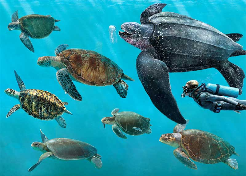 General Sea Turtle Information