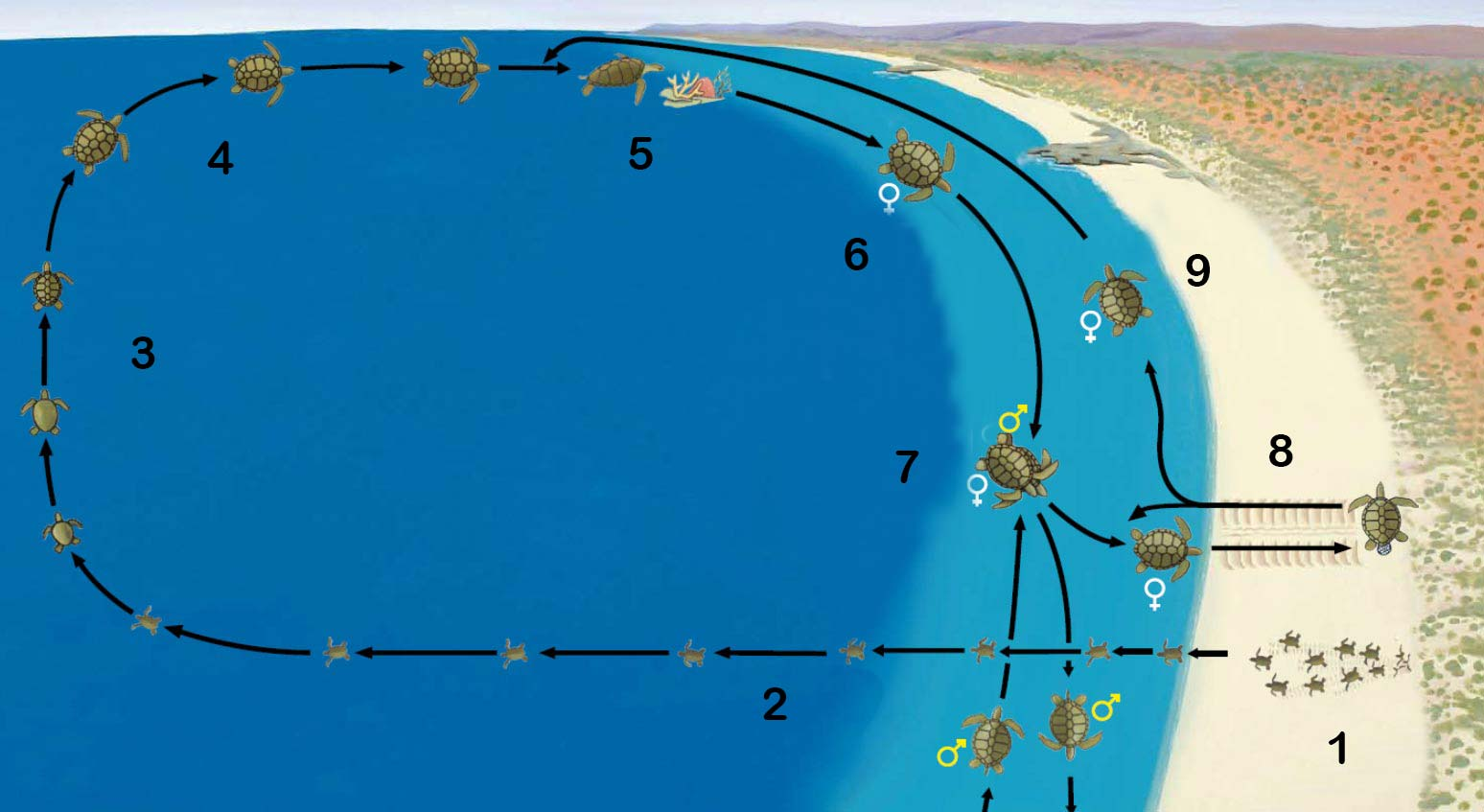 generalised marine turtle life cycle overview