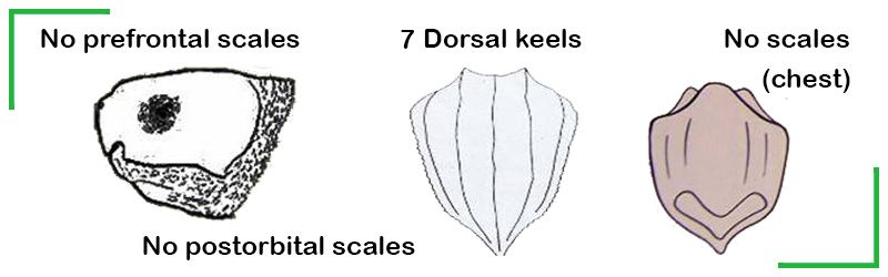 leatherback sea turtle identification marks