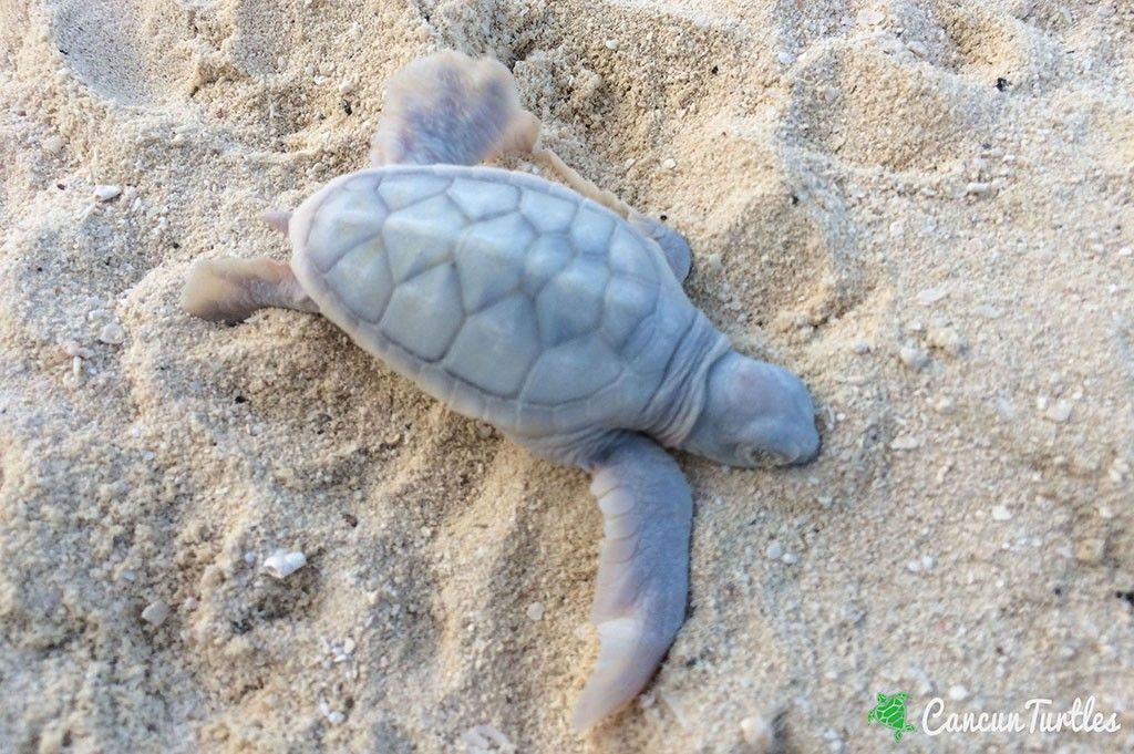 Tiny Albino Green Sea Turtle hatchling surprises us as turtle season is coming to an end