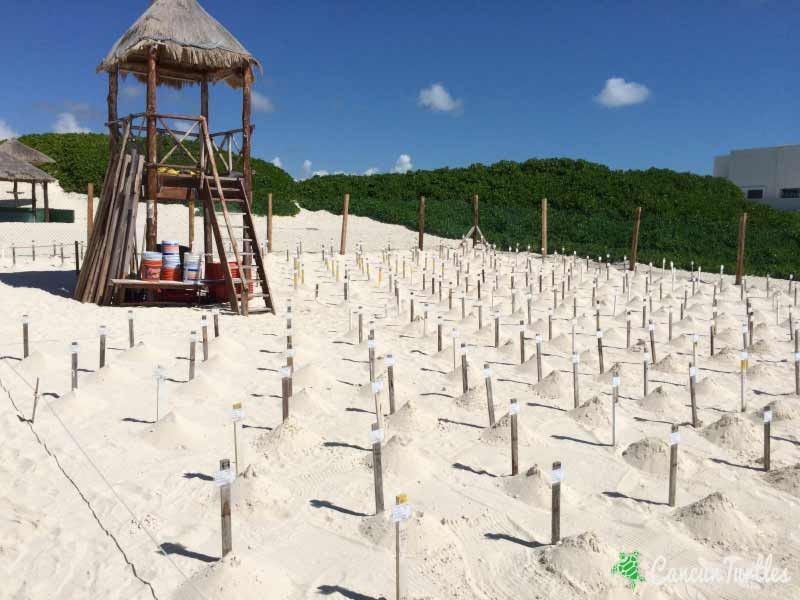 What a crazy sea turtle season – Update July 10