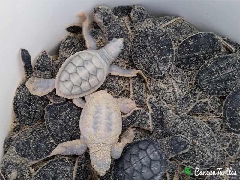 Lots of lovely hatchlings and more mother turtles
