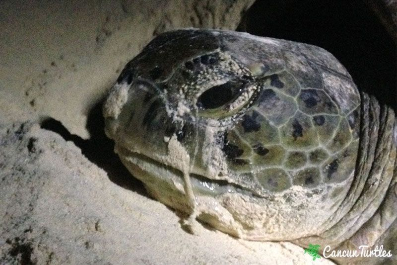 green sea turtle 20 06 2015 4