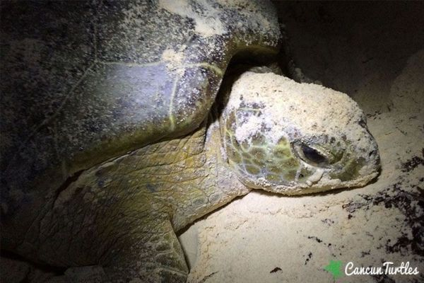 Green Sea Turtle after laying her eggs
