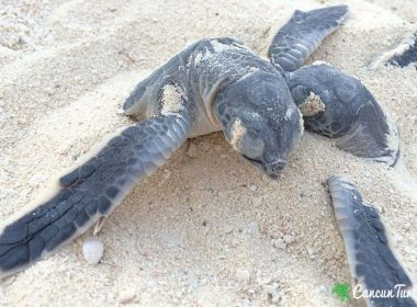 Green Sea Turtle hatchlings free temselves from nest