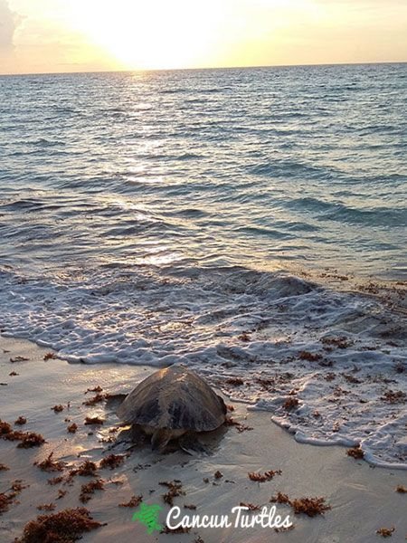 green sea turtle leaving beach 11 08 2015