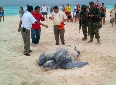 Leatherback Sea Turtle - Being protected by the Mexican Army