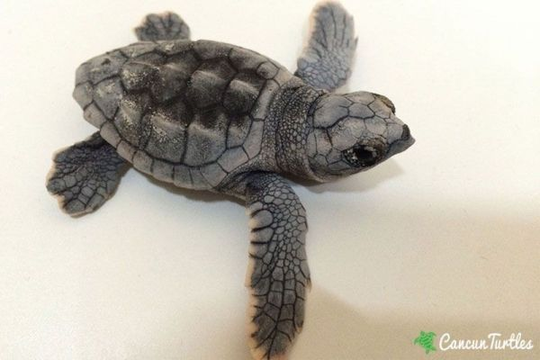 Loggerhead Sea Turtle Hatchling ready to be released into the ocean