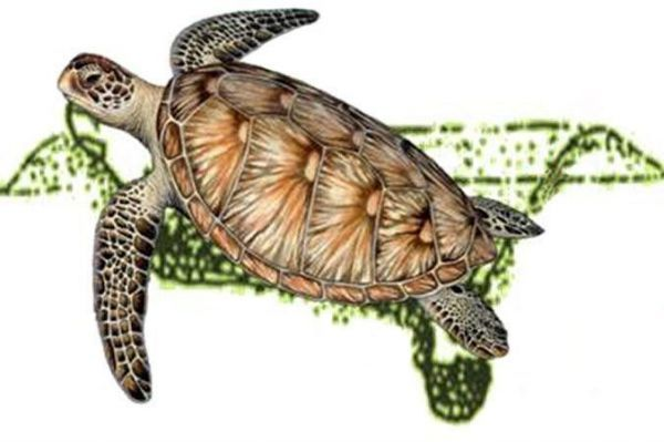 Ilustration of a Green Sea Turtle digging the nest