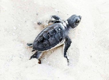 Green Sea Turtle hatchling on his way to the ocean